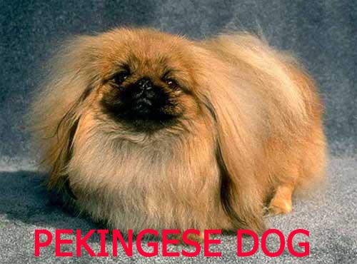 <a title='نژاد سگ پیکینیز' href='http://www.google.com/search?q=site%3Awww.petdata.ir+نژاد سگ پیکینیز' ><strong style='color:blue'>نژاد سگ پیکینیز</strong></a>