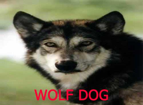 نزاد سگ گرگی