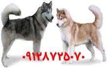 فروش سگ هاسکی در ایران