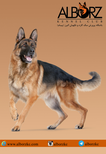 <a rel=nofollow style='color:blue' title='باشگاه'  href='http://www.google.com/search?q=site%3Awww.petdata.ir/full_ads.php+باشگاه' > <strong>باشگاه</strong></a> <a rel=nofollow style='color:blue' title='پرورش'  href='http://www.google.com/search?q=site%3Awww.petdata.ir/full_ads.php+پرورش' > <strong>پرورش</strong></a> <a rel=nofollow style='color:blue' title='سگ'  href='http://www.google.com/search?q=site%3Awww.petdata.ir/full_ads.php+سگ' > <strong>سگ</strong></a> <a rel=nofollow style='color:blue' title='البرز'  href='http://www.google.com/search?q=site%3Awww.petdata.ir/full_ads.php+البرز' > <strong>البرز</strong></a> <a rel=nofollow style='color:blue' title='پیام'  href='http://www.google.com/search?q=site%3Awww.petdata.ir/full_ads.php+پیام' > <strong>پیام</strong></a>