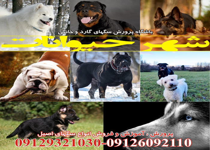 <a rel=nofollow style='color:blue' title='شهر'  href='http://www.google.com/search?q=site%3Awww.petdata.ir/full_ads.php+شهر' > <strong>شهر</strong></a><a rel=nofollow style='color:blue' title='حیوانات'  href='http://www.google.com/search?q=site%3Awww.petdata.ir/full_ads.php+حیوانات' > <strong>حیوانات</strong></a>
